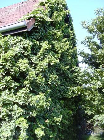 comment éradiquer le lierre ?   forum jardin - assainissement
